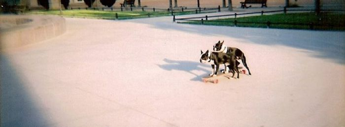 French Bulldogs Doing It On A Skateboard
